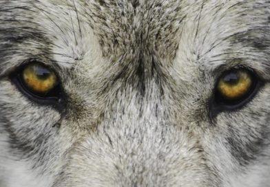 Człowiek człowiekowi wilkiem